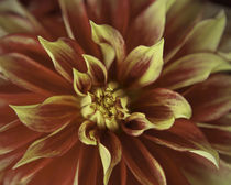 Dazzling Red Dahlia by Debra  Carr Brox
