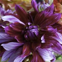 Passionate Purple Dahlia by Debra  Carr Brox