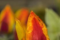 Tulpenblüte by margareten