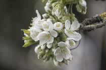 Kirschblüte  von Petra Dreiling-Schewe