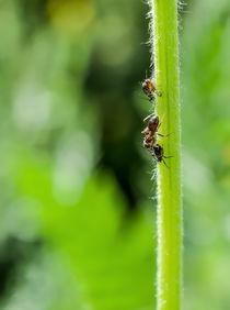 Ameise auf einem Blüenstiel by margareten