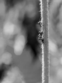 Ameise melkt Blattlaus von margareten