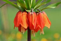 Blüten der Kaiserkrone by Bernhard Kaiser