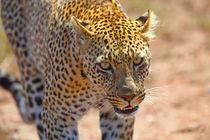 Der Blick des Leoparden von Stefan Schütter