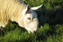 Grasendes Schaf von Sabine Radtke