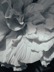 Hibiscus BW by Andrei Grigorev