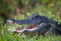 Portrait eines Mississippi-Alligators in den Everglades by Stefan Schütter