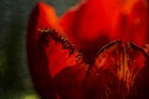 Rote Tulpe von Petra Dreiling-Schewe