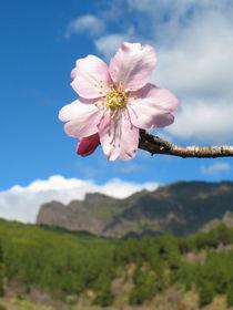 Mandelblütentraum von lito-ovisa
