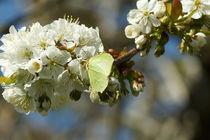 Zitronenfalter im Kirschblütenreich von Sabine Radtke