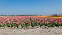 edge of the tulip field by Erik Mugira