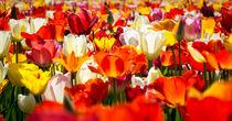 colorful tulips by Erik Mugira