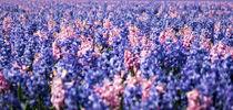 mesmerizing hyacinth by Erik Mugira