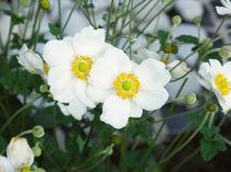 Anemone japonica von Jens Uhlenbusch