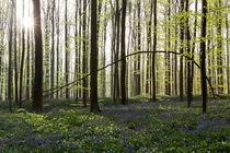 Frühling in Hallerbos von Dennis Heidrich
