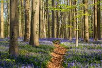 Der Wald in Halle, Belgien by Dennis Heidrich