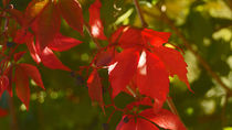 Rotes Weinlaub im Herbst - Red vine leaves in autumn by Eva-Maria Di Bella