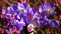 Blaue Krokusse im Frühling - Blue crocuses in spring by Eva-Maria Di Bella