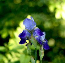 Blaue Orchidee - Blue orchid by Eva-Maria Di Bella