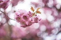 Kirschen blühen by Iryna Mathes
