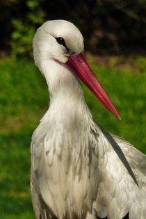 Storch von maja-310