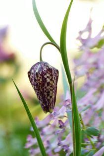 Schachbrettblume von maja-310
