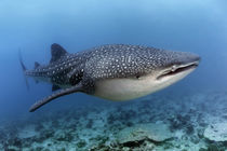 Walhai | Whale shark by Norbert Probst