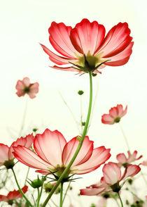 TENDER RED BLOSSOMS v2 von Pia Schneider
