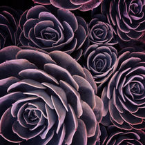 DARKSIDE OF SUCCULENTS I by Pia Schneider
