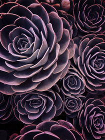 DARKSIDE OF SUCCULENTS I HF       by Pia Schneider