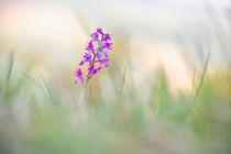 Knabenkraut -Orchis mascula von Bettina Dittmann
