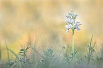 Weisses Knabenkraut - Dactylorhiza majalis von Bettina Dittmann