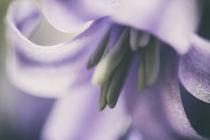 Hyacinthoides - Blütenmakro von Petra Dreiling-Schewe