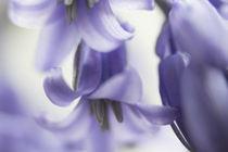 Hasenglöckchen lila von Petra Dreiling-Schewe