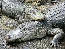 Aligator in Lauerstellung von Stefan Wehmeyer