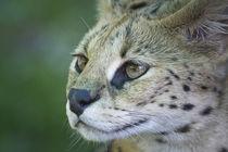 Serval 2 von Heidi Bollich