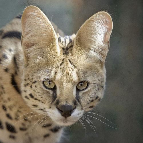 Dsc2617-dot-serval6-08-12