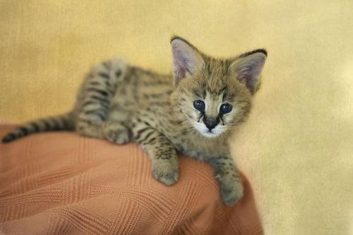 Dsc1552-dot-serval-kitten-08-13