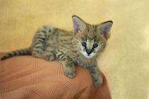 Serval Kitten 2 von Heidi Bollich