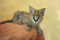 Serval Kitten 2 by Heidi Bollich