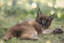 Karakal Kitten von Heidi Bollich