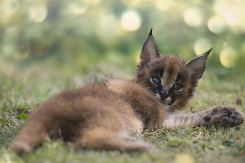 Dsc2474-dot-karakal-kitten-08-13