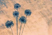 Allium by mario-s