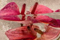 Flamingoblume in Eis 4 von Marc Heiligenstein