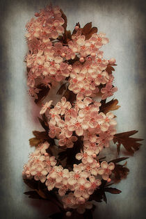 Vintage Blossom In Creamy Pink by CHRISTINE LAKE