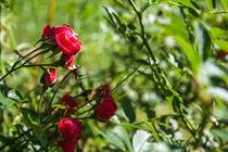 Rote Rosen by Thomas Schwarz