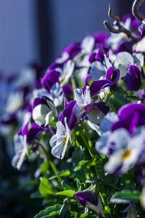 Violett/Weiße Veilchen von Thomas Schwarz