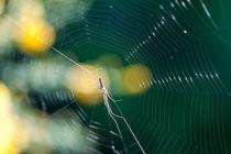 Spinne im Netz von Thomas Schwarz