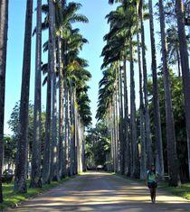 die Königspalmen-Allee im  Jardim Botânico do Rio de Janeiro von assy