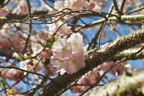 Japanische Blütenkirsche Accolade / Spring cherry Accolade  von Werner Meidinger